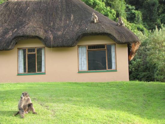 Thendele Hutted camp: Baboons on the watch