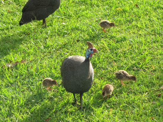 Thendele Hutted camp: Helmeted Guineafowls with their young ones