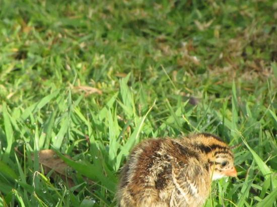 Thendele Hutted camp: A tiny Helmeted Guineafowl