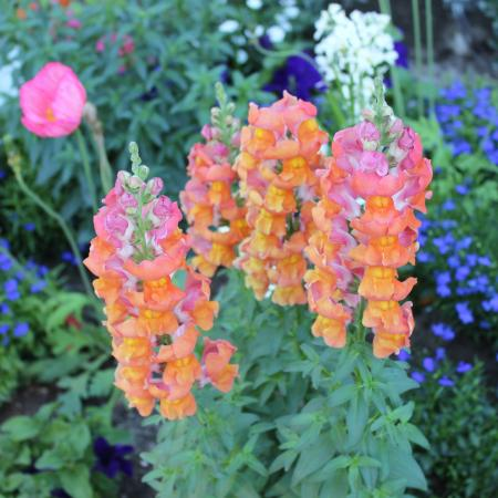 A Place in the Sun Garden Hotel: Orange snapdragons......