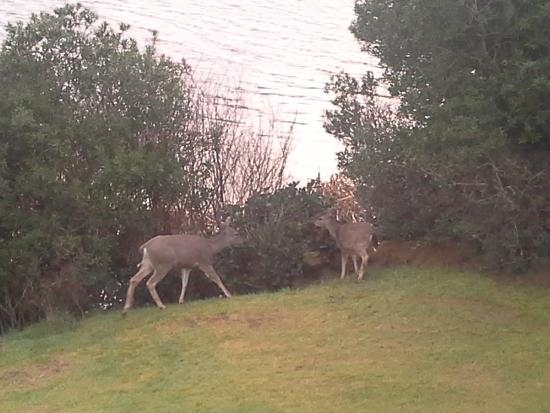 Ocean Shores, WA: The Deer at the Canal