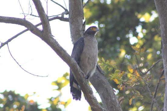 Mailani, อินเดีย: Serpent Eagle at Kishanpur
