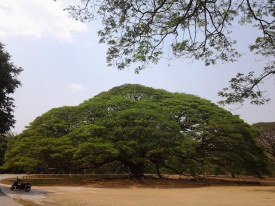 Giant Tree Kanchanaburi