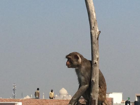 Pyrenees Homestay: Rooftop restaurant, view of Taj Mahal & monkey visitor��