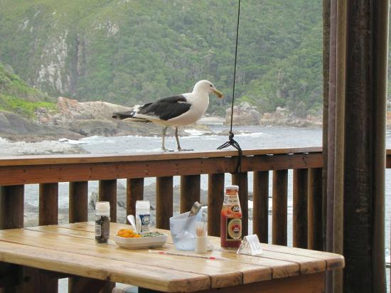 Tsitsikamma Restaurant: Busy seagull not taking NO for an answer