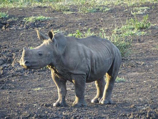 Gooderson Bushlands Game Lodge : BLACK RHINO BABY