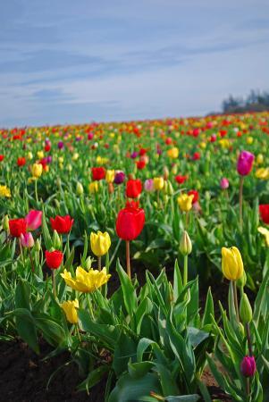 Wooden Shoe Tulip Farm : Tulip Fields