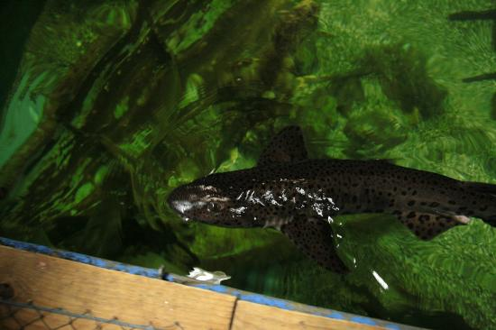 Jyllandsakvariet : Einer der Fische, die permanent versucht haben aus dem Becken raus zu springen....