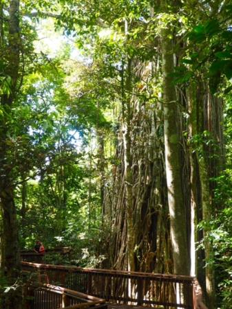 Curtain Fig National Park : perspective