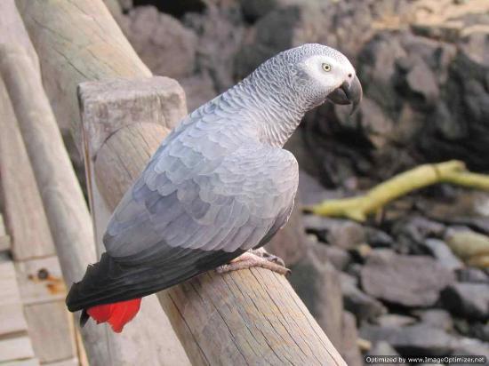 Bom Bom Principe Island: Chaplin, the resident African grey parrot