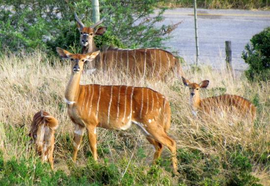 Addo Afrique Estate: Antelope on the grounds
