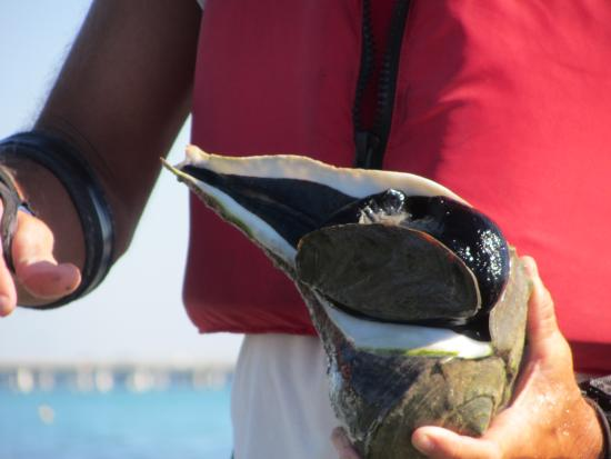 Liquid Blue Outfitters: Florida Whelk