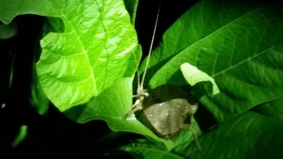 Santamaria Night Tour: false leaf katydid