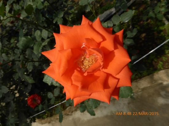Rose Centre: Sunflower