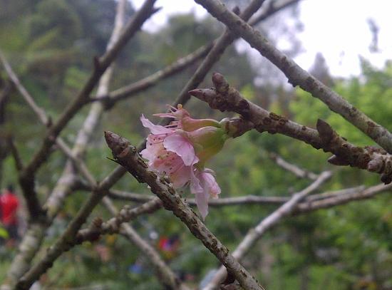 bunga sakura cibodas picture of cibodas botanical garden cianjur rh tripadvisor com