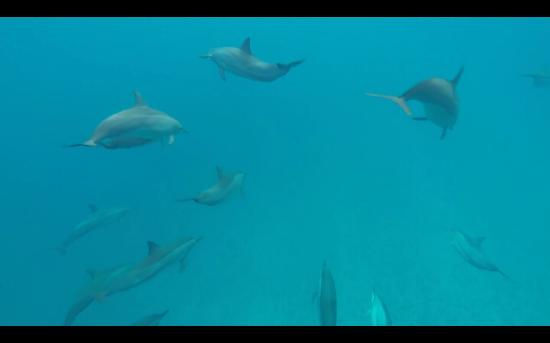 Marks Place Moorea : Dolphins of Moorea