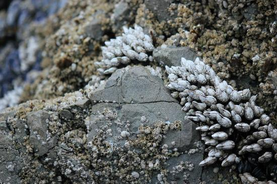 Wild Shores Guest House: Gooseneck barnacles on the rocks of Wild Pacific Cove