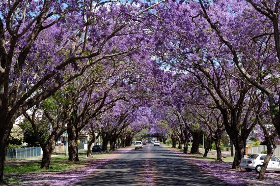 Pacific Coast Australia, أستراليا: Grafton Jacaranda Festival
