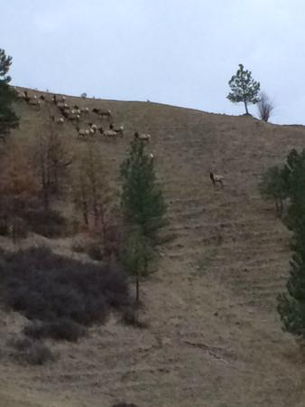 Rye Creek Lodge: Herd of elk in the morning