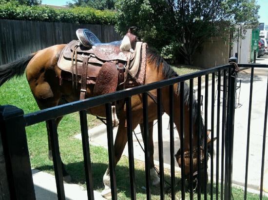 Hoffbrau Steak & Grill House: Horse hitched out back of Hoffbrau Steaks