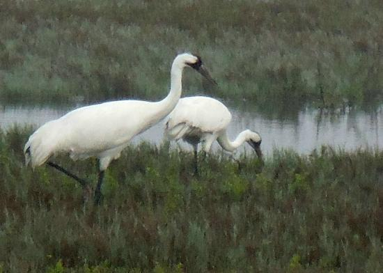 Rockport, TX: Pair of whopping cranes