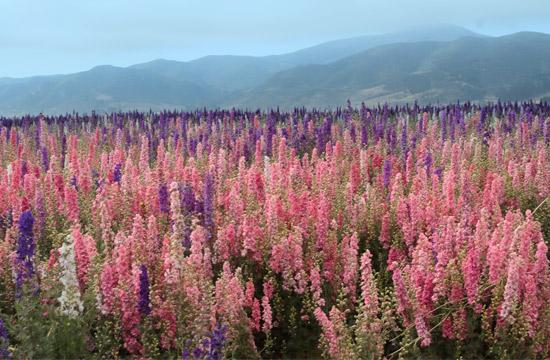 Pink Flower Fields (Photo Courtesy of ExploreLompoc.com)