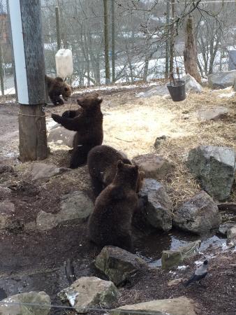 skansen openair museum brown bears