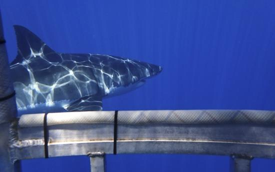 Great White Shark outside dive cage, Isle de Guadalupe, Baja CA, Mexico