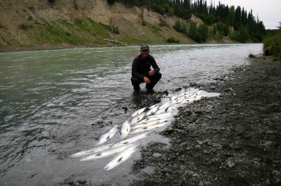 Kasilof river sockeye salmon bonanza picture of alaskan for Kenai river fish counts