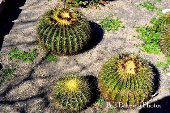 Round Cactus Picture Of South Texas Botanical Gardens Nature Center Corpus Christi