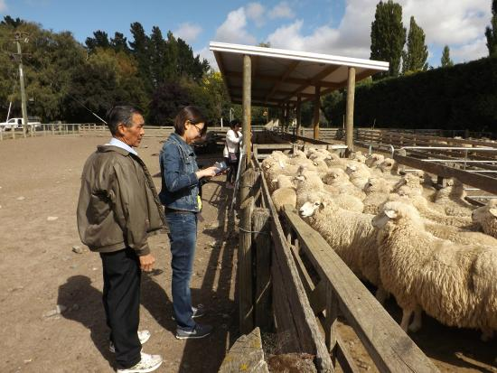 Karetu Downs Farmstay: Up close and personal with the sheep