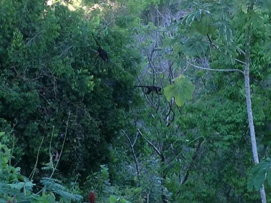 Anamaya Resort & Retreat Center: Howler monkeys from the yoga deck