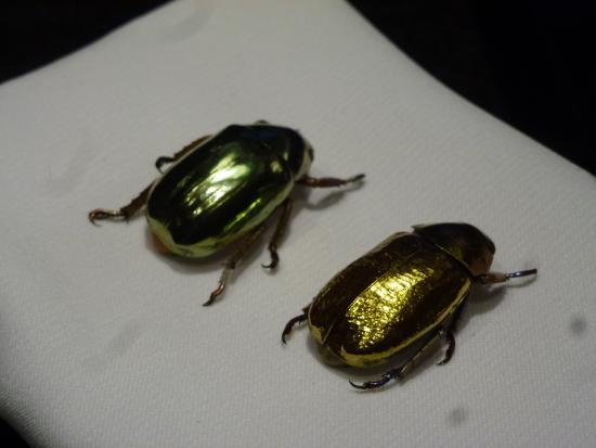 Esapolis - Museo Vivente degli insetti : Uno scarabeo d'ORO!