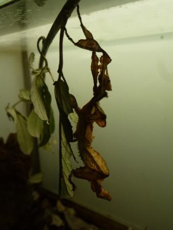 Esapolis - Museo Vivente degli insetti : Insetto foglia-secca (vivo e vegeto!)