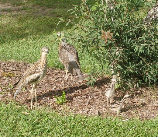 BIG4 Atherton Woodlands Tourist Park: My Curlew friends
