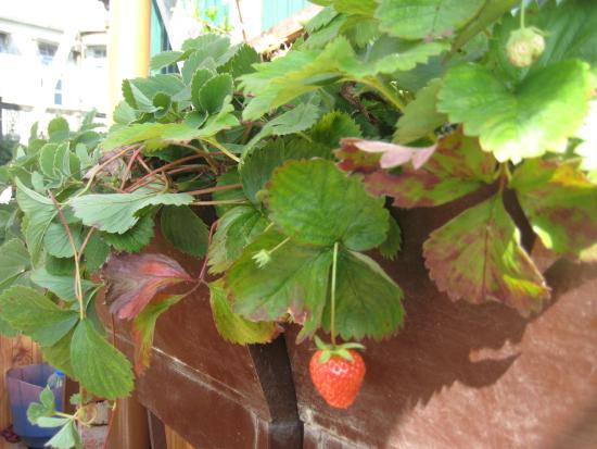 Magnolia Residency: New strawberries growing on the terrace