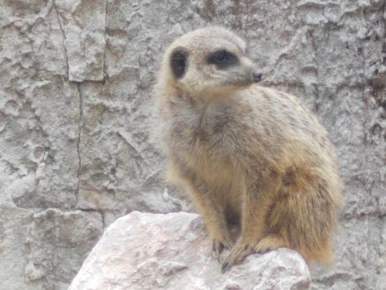 Miskolc Zoo and Culture Park : One of three Meercats