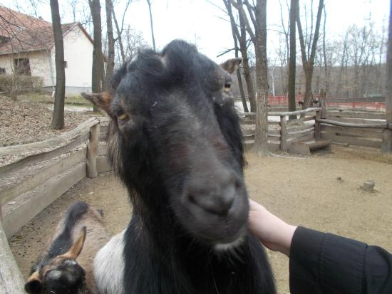 Miskolc Zoo and Culture Park : goat