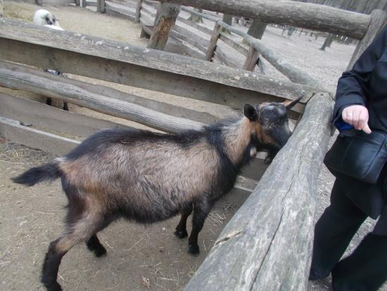 Miskolc Zoo and Culture Park : more goats