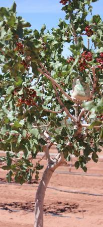 McGinn's PistachioLand: Pistachios growing on the trees at PistachioLand