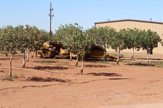 McGinn's PistachioLand: Harvesting the pistachio trees