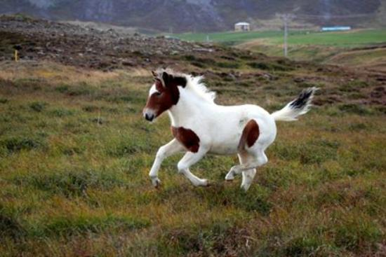 Skagafjordur, ไอซ์แลนด์: The young horses in our area have a lot of freedom and fun.