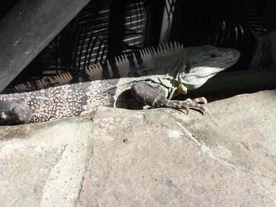 Hotel Mimos: Iguana in the grounds