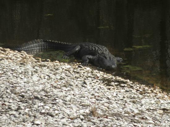 Lion's Paw Golf Links : An Alligator
