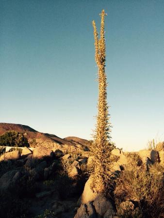 Hotel Mision Catavina: Back of the hotel. Cirrios trees