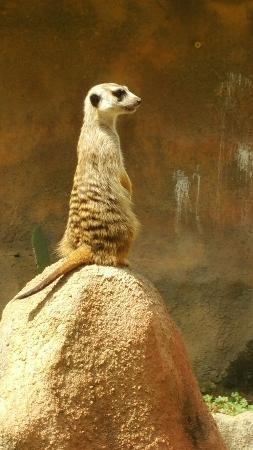 Chehaw Park: Meerkats