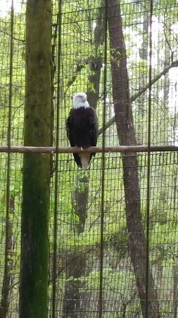 Chehaw Park: Eagle vocalized while we were there.