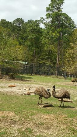 Chehaw Park : Emu and kangaroos
