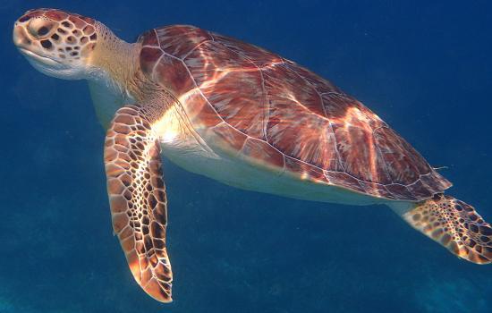 Tamarindo Estates Beach Apartments: Green Sea Turtle Tamarindo Bay