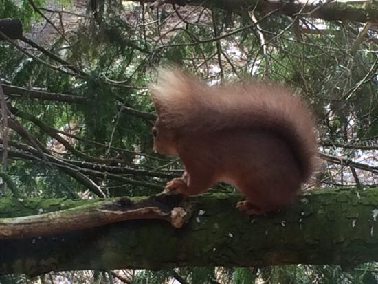 The Potting Shed Tearoom Inshriach: Red squirrel